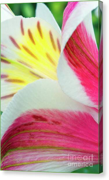 Macro Lily Canvas Print