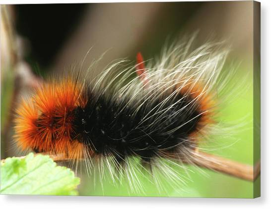 Caterpillers Canvas Print - Macro Of Big Woolly Fuzzy Caterpillar by Jerry Voss