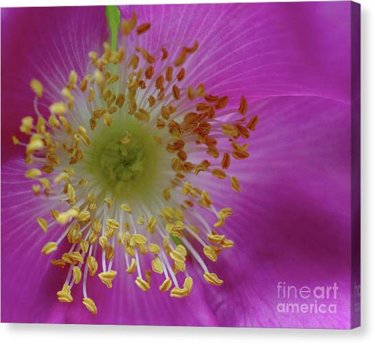 Macro Rosehip Bloom Canvas Print
