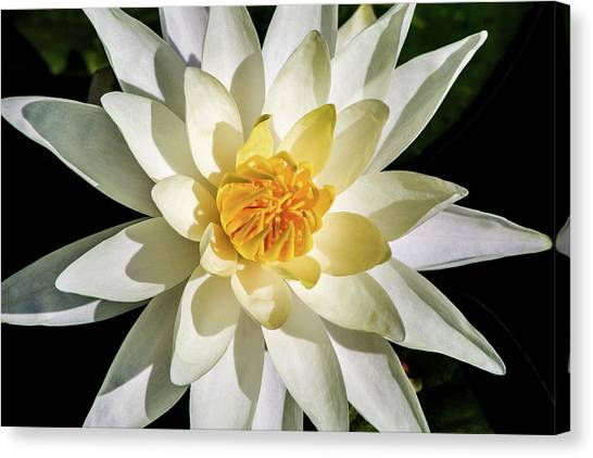 Macro Water Lily Canvas Print