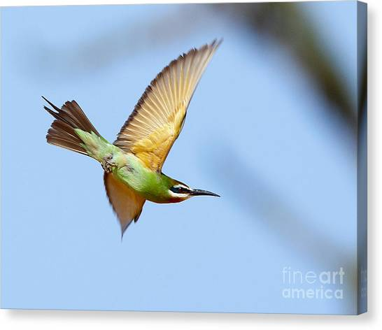 Madagascar Bee Eater In Flight Canvas Print