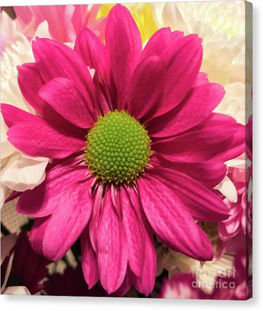 Magenta Chrysanthemum Canvas Print