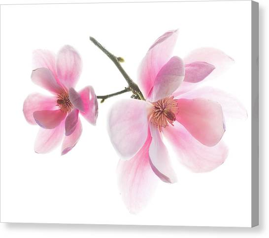 Magnolia Is The Harbinger Of Spring. Canvas Print