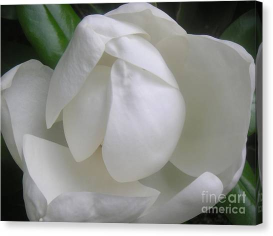 Magnolia Begins Its Blooming Canvas Print by Lucyna A M Green