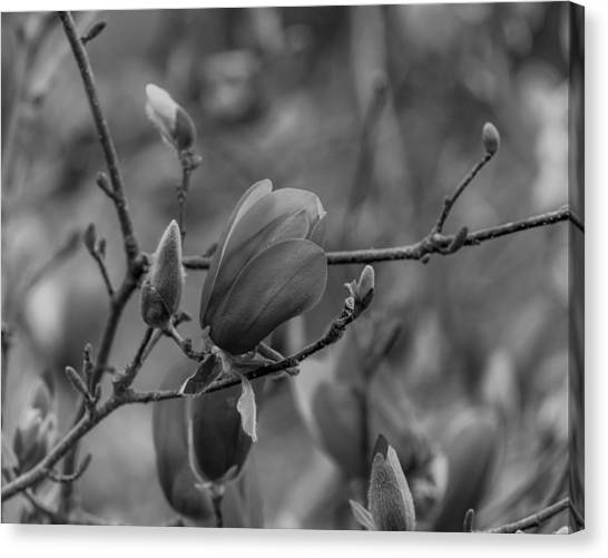 Magnolia Bw Blooms Buds Branches Canvas Print