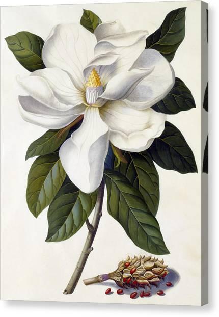 Tasteful Canvas Print - Magnolia Grandiflora by Georg Dionysius Ehret