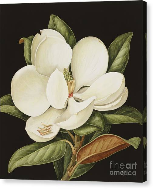 White Water Lilies Canvas Print - Magnolia Grandiflora by Jenny Barron