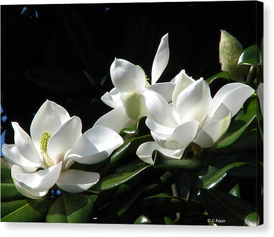 Magnolia Canvas Print by Greg Patzer