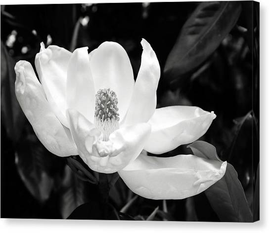 Tennessee Canvas Print - Magnolia Memories 3- By Linda Woods by Linda Woods