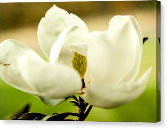 Magnolia Canvas Print by Sarah Pacheco