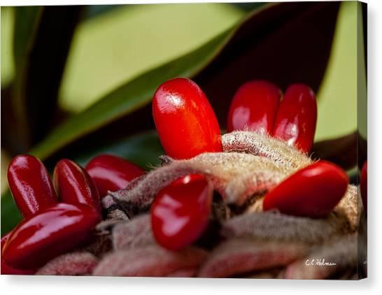 Magnolia Seeds Canvas Print
