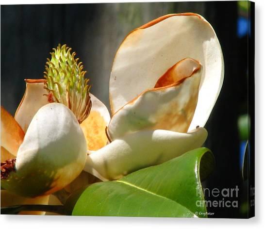 Magnolia Sunburn Canvas Print by Greg Patzer
