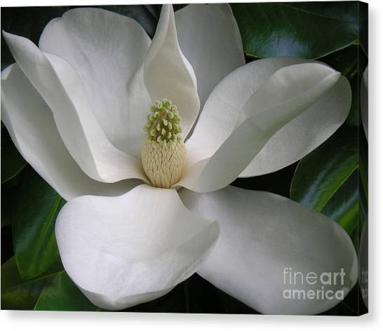 Magnolia Taking In The Light Canvas Print by Lucyna A M Green