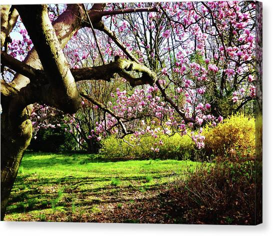Magnolias And Forsythias Canvas Print by Susan Savad