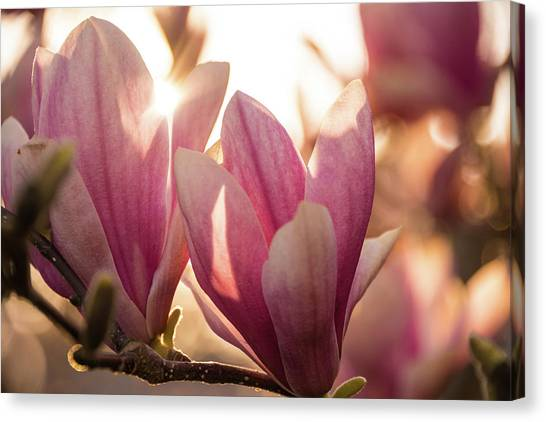 Magnolias At Sunset Canvas Print
