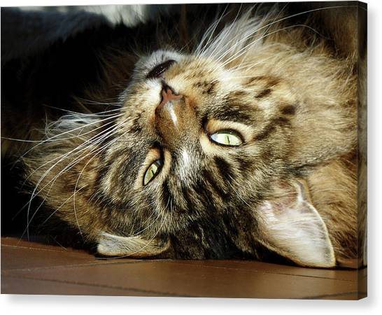 Canvas Print featuring the photograph Main Coon, Crazy. by Roger Bester