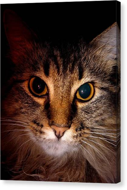 Main Coons Canvas Print - Main Coon  by Stephanie Campbell