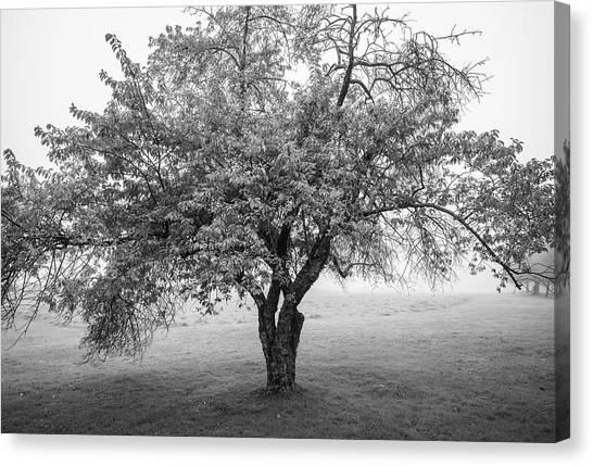Maine Apple Tree In Fog Canvas Print