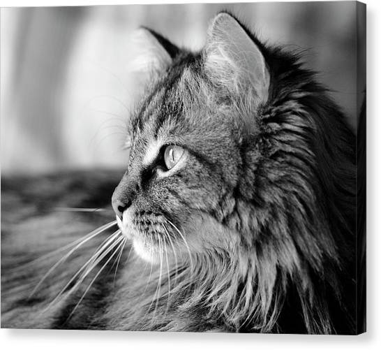 Main Coons Canvas Print - Maine Coon Black And White by Angela Murdock