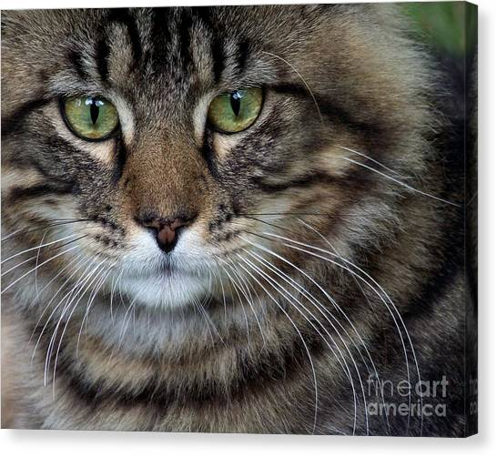 Main Coons Canvas Print - Maine Coon Cat Portrait by Jai Johnson