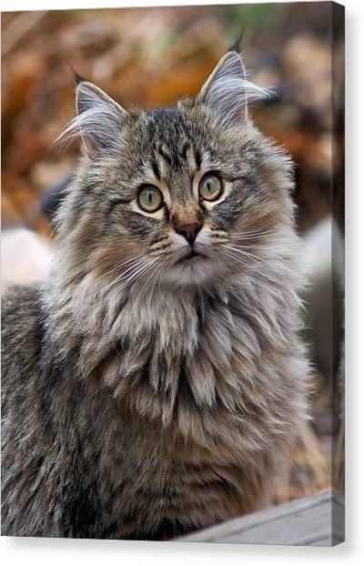 Canvas Print - Maine Coon Cat by Rona Black