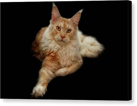 Main Coons Canvas Print - Maine Coon Lady by Claudia Moeckel