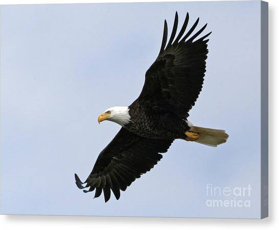 Majestic Bald Eagle Canvas Print