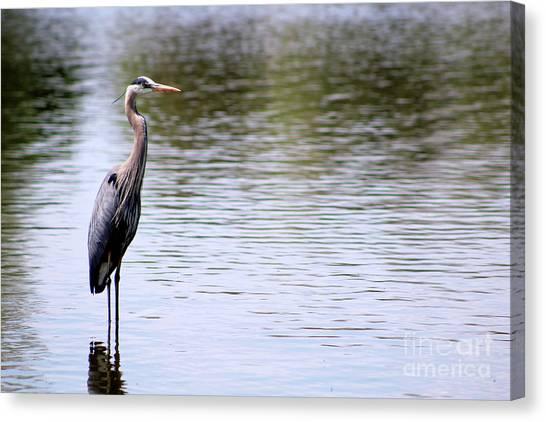 Majestic Great Blue Heron Canvas Print