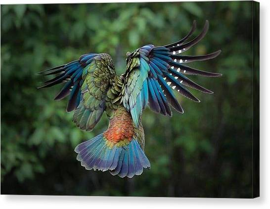 Star Wars Canvas Print - Majestic Kea In Flight, New Zealand  by Andy Bucaille