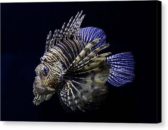 Majestic Lionfish Canvas Print