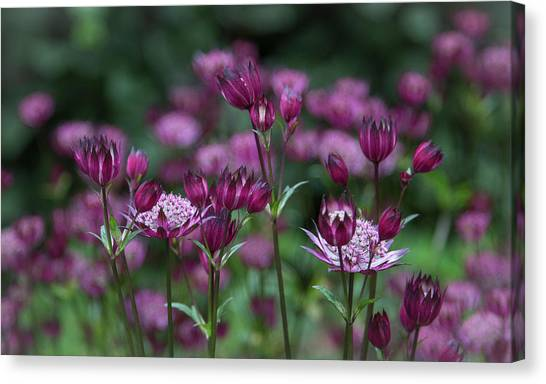 Majestic Magenta Canvas Print