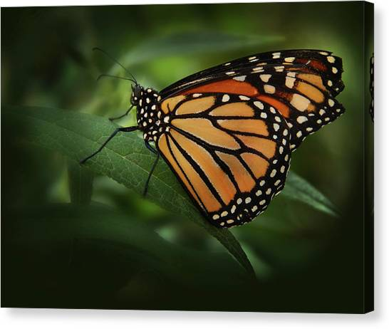 Majestic Monarch Canvas Print
