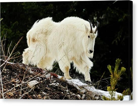 Canvas Print featuring the photograph Majestic Mountain Goat by Greg Norrell