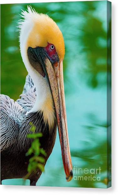 Majestic Pelican 48 Canvas Print
