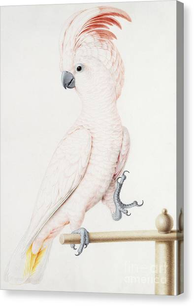 Cockatoo Canvas Print - Major Mitchell's Cockatoo by Nicolas Robert