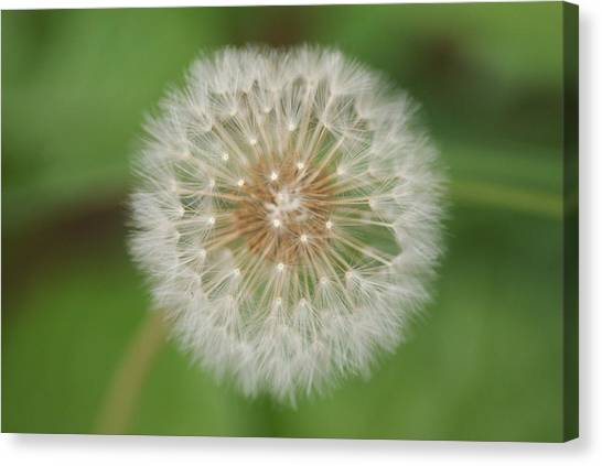 Make A Wish Canvas Print by Heather Green