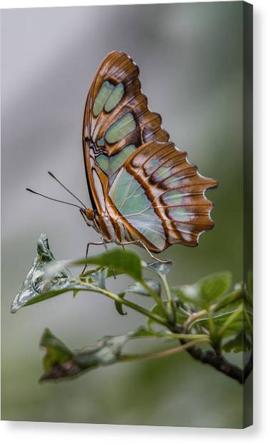 Canvas Print featuring the photograph Malachite Butterfly Profile by Patti Deters