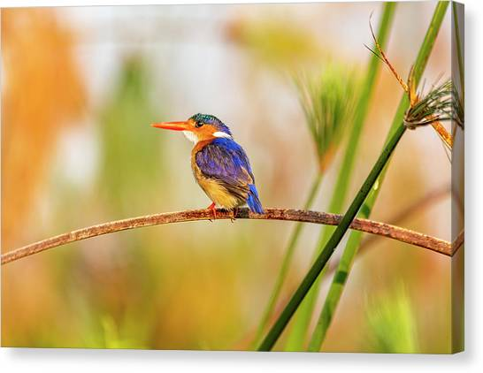 Malachite Kingfisher Hunting Canvas Print