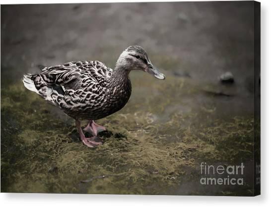 Malard,duckling Canvas Print