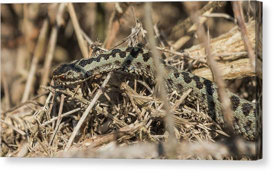 Male Adder Canvas Print