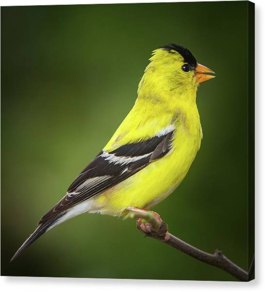 Male American Golden Finch On Twig Canvas Print