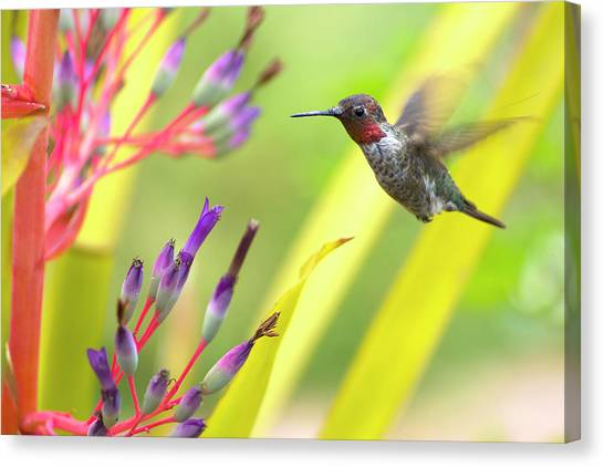 Mcherdering Canvas Print - Male Anna's Hummingbird by Mike Herdering