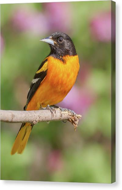 Orioles Canvas Print - Male Baltimore Oriole Arriving In Minnesota In The Spring by Jim Hughes
