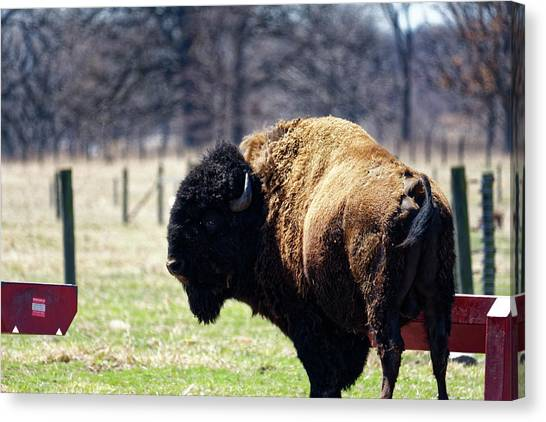 Male Bison Canvas Print