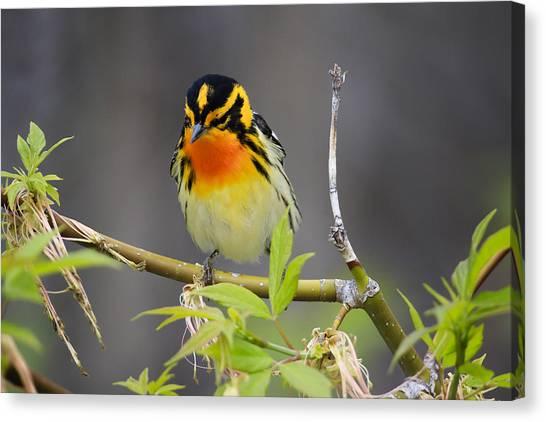 Male Blackburnian Warbler Canvas Print