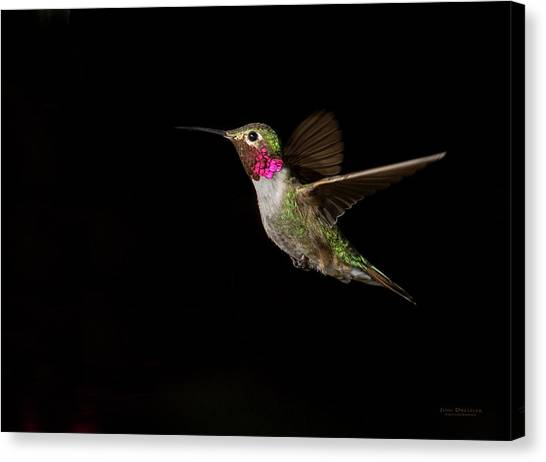 Male Broad-tailed Hummingbird Canvas Print