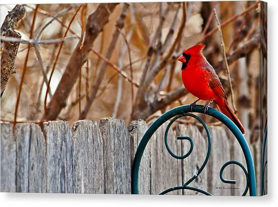 Canvas Print featuring the photograph Male Cardinal by Edward Peterson