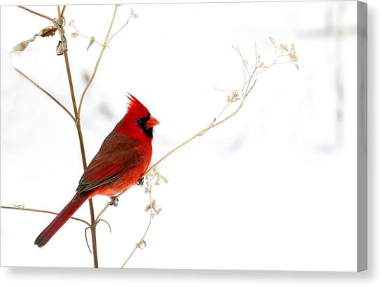 Male Cardinal Posing In The Snow Canvas Print
