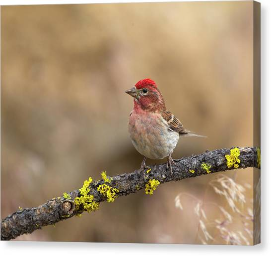 Male Cassins Finch Canvas Print
