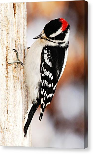 Male Downy Woodpecker 3 Canvas Print